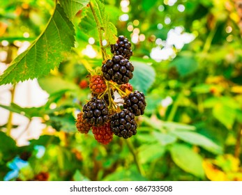 The berry of the blackberry is ripe in the garden