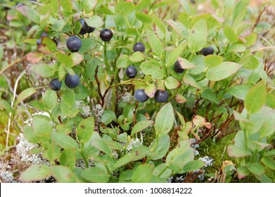 Berry Blueberry in the mountains