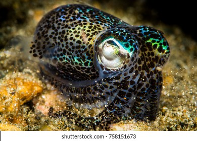berry bobtail squid