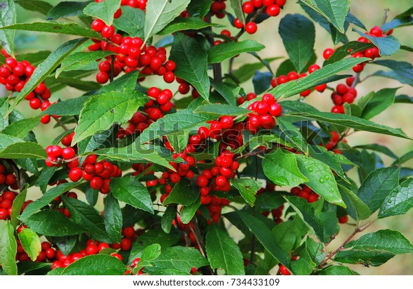 Berry Bush Dark Green Leaves Bright Stock Photo Edit Now 734433109