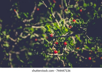 Berry bush with red berries