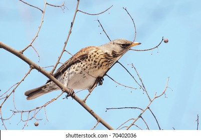 A Berry to Far!  - Fieldfare (Turdus pilaris)