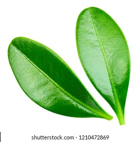 Berry leaves. Leaves isolated on white background Clipping Path