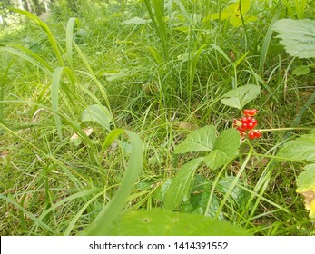 Berry Rubus saxatilis L. in the forest area of the village Kolyvan in the Altai.