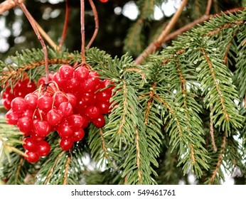 berry viburnum