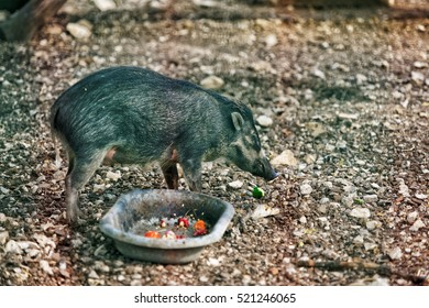 Besancon, France - May 1, 2012: Visayan warty pig in Zoo in the citadel in Besancon, Bourgogne Franche Comte region in France.