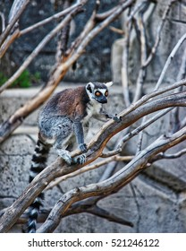 Besancon, France - May 1, 2012: Ring-tailed lemur in Zoo in the citadel in Besancon, Bourgogne Franche Comte region of France.