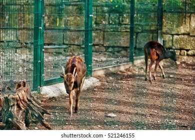 Besancon, France - May 1, 2012: Visayan spotted deer in Zoo in the citadel in Besancon, Bourgogne Franche Comte region in France.