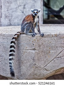 Besancon, France - May 1, 2012: Ring-tailed lemur in Zoo in the citadel in Besancon, Bourgogne Franche Comte region in France.
