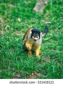 Besancon, France - May 1, 2012: Saimiri sciureus monkey in Zoo in the citadel in Besancon, Bourgogne Franche Comte region in France.