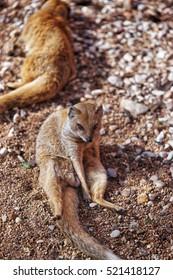 Besancon, France - May 1, 2012: Lemur in Zoo in the citadel in Besancon, Bourgogne Franche Comte region in France.