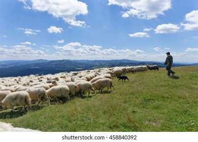 Beskidy mountains, Poland - July 05, 2016: Flock (herd) of sheep and shepherd are a hill Ochodzita in the Beskidy mountains. Sheep is grazing on pasture in a summer day. Not far from Koniakow. Poland.