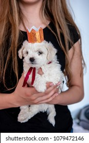 Best birthday present ever!  Adorable Bichon Frise puppy with sparkling crown and red ribbon in hands of a new owner