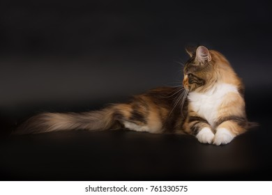 the best cats at the exhibition of different breeds  maine coon cat