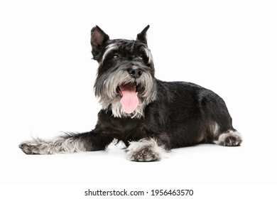 Best Friend. Cute sweet puppy of Miniature Schnauzer dog or pet posing isolated on white background. Concept of motion, pets love, animal life. Looks happy, funny. Copyspace for ad. Playing, running.