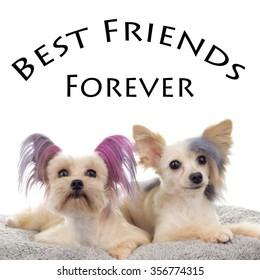 Best friends Forever Steam Punk Maltipoo