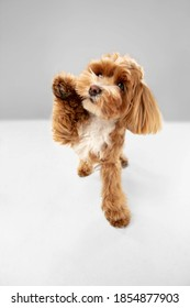Best friends. Maltipu little dog is posing. Cute playful braun doggy or pet playing on white studio background. Concept of motion, action, movement, pets love. Looks happy, delighted, funny. - Shutterstock ID 1854877903