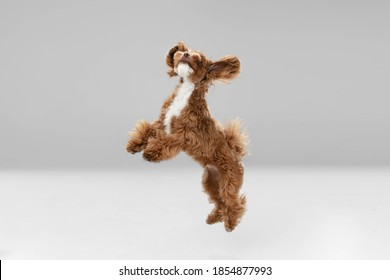 Best friends. Maltipu little dog is posing. Cute playful braun doggy or pet playing on white studio background. Concept of motion, action, movement, pets love. Looks happy, delighted, funny. - Shutterstock ID 1854877993