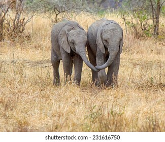 """Best Friends"": Two baby elephants walking together, side by side, trunks touching, Tarangire National Park, Manyara, Tanzania, Africa"