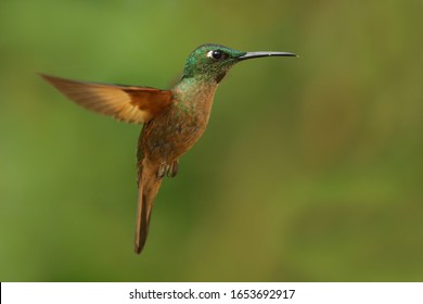 Best Humminbird from Ecuador in the flight, wildlife from tropic jungle. Wildlife scene from nature. Hummingbird with flower, in flight. Colibri, Trochilidae,  (disambiguation), Hermit.