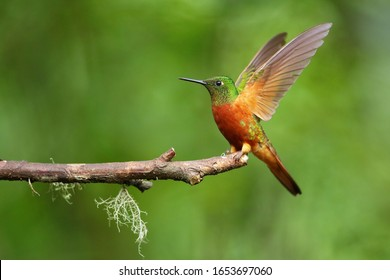 Best Humminbird from Ecuador in the flight, wildlife from tropical jungle. Colibri, Hermit, Trochilidae.