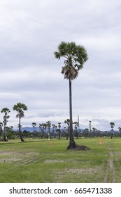 The best local organic palm field in Thailand