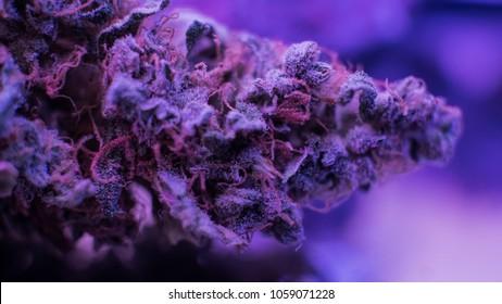 Best Marijuana Strains buds. Purple Haze , Indica, Sativa, OG, Kush