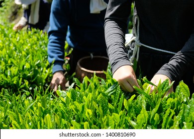 The best quality Japanese green tea leaves are hand-picked during harvest season. Shizuoka is one of the major tea production perfecture in Japan.