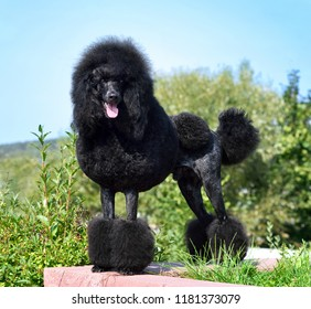 Best in Show. Standart black poodle on continental clip standing on a green backgraund.
