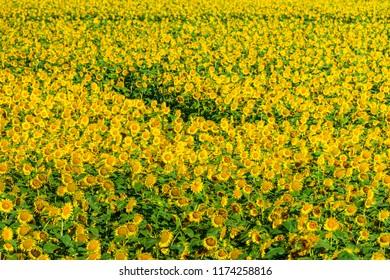 The best sunflower field in Japan, Takanabe Miyazaki.