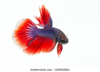 Beta Fish, Fish ,decorative fish, fish fighters, White Isolated