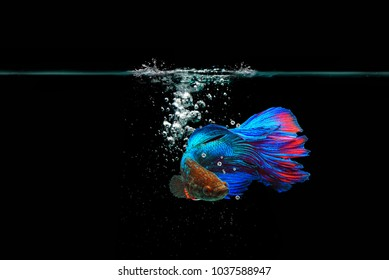 Beta Fish, Beta Fighting Fish