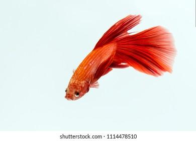 Beta Fish, Red Beta Fish, decorative fish, Aggressive Fish