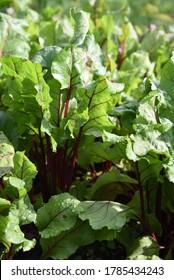 Beta vulgaris: beet leaves with disease spots