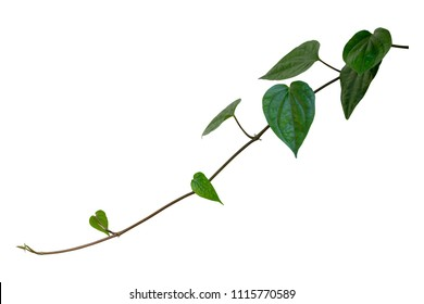 Betel, creeper plant isolated on white background with clipping path included.