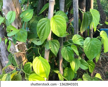 Betel is a creeper Which has short roots around the joints. Single leaf  Are popular chewed together with the pieces. chewing together with betel nut.