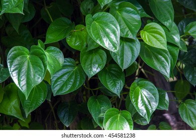 Betel green leaves growing in graden ,Low key lighting Nature background , Close up ,Focus sharp specific point