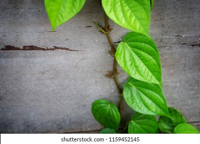 Betel green leaves growing on wooden