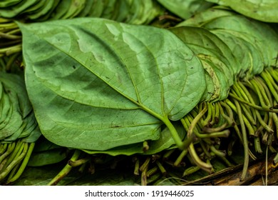 Betel leaf is mostly consumed in Asia and the betel or Piper betle is a vine of the family Piperaceae, which includes pepper and kava - Shutterstock ID 1919446025