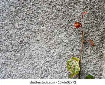 Betel leaf shoots (Pucuk daun sirih) propagate on concrete walls. Side view close up details.
