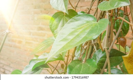 Betel leaf, betel leaf that is exposed to the morning sun, lacks focus and little noise effect