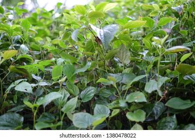 betel leaves in garden