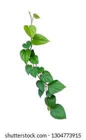Betel leaves, Greenery plants isolated on white background have clipping path