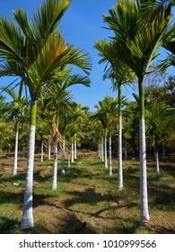 Betel Nut (Supari) farm, The areca nut is the fruit of the areca palm, Betel nuts is one of the most important herb in Ayurvedic medicine system. Supari cultivation agriculture field