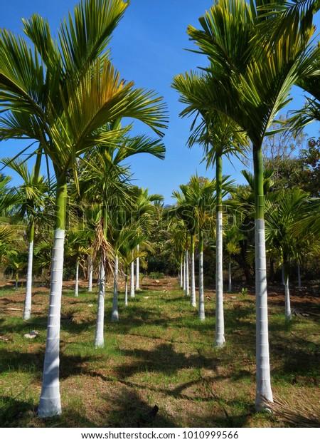 Betel Nut Supari Farm Areca Nut Stock Photo (Edit Now