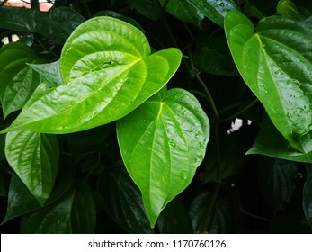 The betel or Piper betle. Betel leaf is mostly consumed in Asia, as betel quid or in paan,  (smartphone)