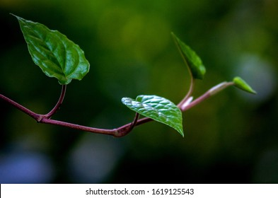 The betel (Piper betle) is a vine of the family Piperaceae, which includes pepper and kava - Shutterstock ID 1619125543