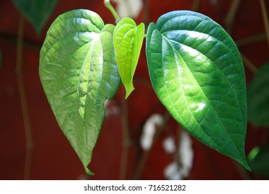 The betel or Piper betle in West Java, Indonesia. Betel leaf is mostly consumed in Asia, as betel quid or in paan, with Areca nut and/or tobacco.