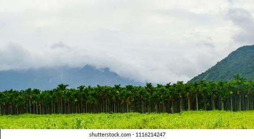 Betelnut tree plantation surrounded by beautiful velliangiri mountains, Isha foundation Coimbatore
