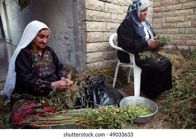 BETHLEHEM, PALESTINIAN AREAS - MAY 26: Elderly Palestinian Arab women help with the harvesting of hummus (chic peas or garbanzo beans), in the courtyard of their home May 26, 2002 in Bethlehem.
